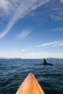 Alone and Surrounded by Killer Whales