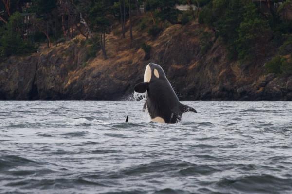 ORCAS-316